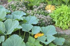 Pumpkin Companion Plants – Suggestions For Plants That Grow Well With Pumpkins