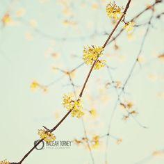 Lemon Yellow Tree Flowers Photo - by MaleahTorney #flower #photography