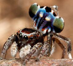 _MG_0154 (1) peacock spider Maratus harrisi | Maratus harris… | Flickr