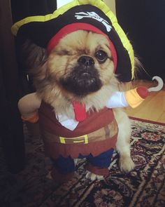 One Eyed Willy's Halloween Costume! Dressed Up Dogs, Pekingese Dogs, Pup, Halloween Costumes, Cute Animals, Fancy, Pretty Animals, Dogs In Costumes, Dog Baby