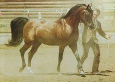 Fadjur - Arabian bay stallion, maternal grandsire of Khemosabi Beautiful Arabian Horses, Arabian Stallions, Arabian Beauty, All About Horses, Dressage Horses, Most Beautiful Animals, Cute Horses, All The Pretty Horses, Horse Pictures