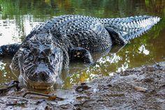 Reptiles And Amphibians, Mammals, Saltwater Crocodile, Dangerous Animals, Amazon Rainforest, Plant Species, Predator, Hulk, Wildlife