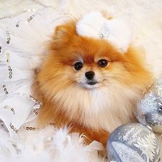 Marvelous Pomeranian Does Your Dog Measure Up and Does It Matter Characteristics. All About Pomeranian Does Your Dog Measure Up and Does It Matter Characteristics. Cute Husky Puppies, Dogs And Puppies, Husky Puppy, All Dogs, I Love Dogs, Cute Dogs, Save A Dog, Dog Shedding, Christmas Animals