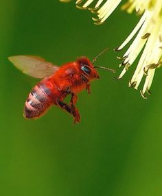 Red bees. I'm in love.