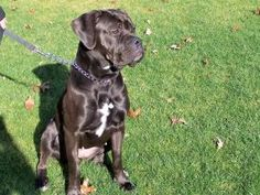 KIRA is an adoptable Cane Corso Mastiff Dog in Manchester, NJ. ADOPTION PENDING Kira is a one year old Cane Corso Mastiff. She was rescued from a neglectful situation where she was crated for 14 hours...