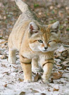 Suave Sand Cat ;)