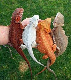 Colorful bearded dragons