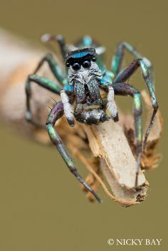 This spider (Cosmophasis sp., Indonesia), has quite the unibrow, and looks like a Sesame Street character -- an iridescent, eight-legged version of Bert.