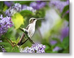 Ruby-throated Hummingbird-1 Metal Print by Christina Rollo.  All metal prints are professionally printed, packaged, and shipped within 3 - 4 business days and delivered ready-to-hang on your wall. Choose from multiple sizes and mounting options.