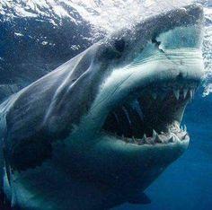 South Africa's great white sharks heading for extinction - Life Retreat Shark Pictures, Shark Photos, Orcas, Big Great White Shark, Megamouth Shark, Basking Shark, Sea Shark, Shark Bait
