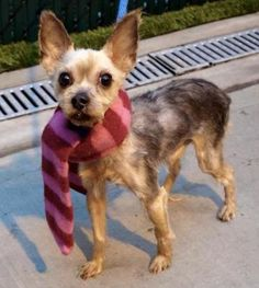 1/28/17 NYC ACC A1101615 Check out Crimson's profile on AllPaws.com and help him get adopted! Crimson is an adorable Dog that needs a new home. https://www.allpaws.com/adopt-a-dog/yorkshire-terrier-yorkie/5810522?social_ref=pinterest