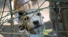 Dogfighting Must Stop. Here's How One Rescue Is Getting You To Help.