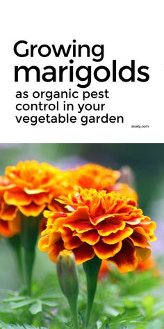 Growing marigolds to control pests organically is a great way to cut out toxic pesticides. Marigolds can be grown easily as companion plants in pots and containers and in the vegetable garden to attract pollinators and natural pest predators and to kill nematodes, repel aphids and camouflage carrots. Marigolds can also be a trap crop for slugs and snails. #growingmarigolds #organicgardening #organicpestcontrol #companionplanting Growing Marigolds, Planting Marigolds, Flower Gardening, Growing Flowers, Organic Gardening, Garden Plants, Beekeeping For Beginners, Gardening For Beginners, Gardening Tips