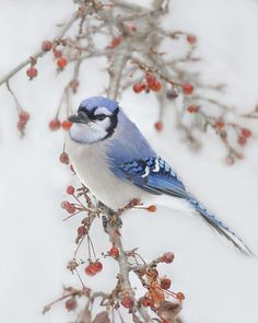 bluejay in the wild apple tree