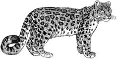 Snow Leopard Drawings | Snow Leopard Line Drawing