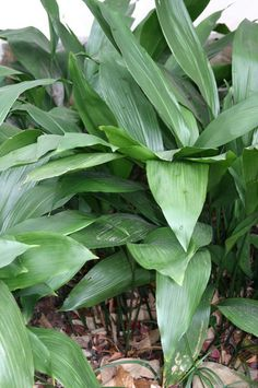 Cast Iron Plant (Aspidistra)  House Plant That Tolerates Low Light