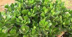 La planta que activa la energía positiva y la abundancia