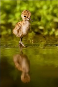 Black-winged Stilt Chick – Amazing Pictures - Amazing Travel Pictures with Maps for All Around the World
