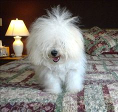 Some days static electricity determines your hairstyle for the day! Unique Dog Breeds, Rare Dog Breeds, Popular Dog Breeds, Bolognese Puppies, Bichon Bolognese, Dog Bucket List, Cute Puppies, Cute Dogs, Family Friendly Dogs