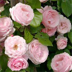 klimroos 'Billet Doux' - Delbard (2010). Zeer rijkbloeiend met trossen zachtroze bloemen met crèmekleurige strepen. Sterk parfum (pompelmoes). Zeer gezond.  Tot 2.5m.