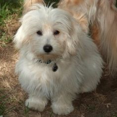 CHARLIE is an adoptable Coton De Tulear Dog in Pasadena, CA. CHARLIE:  Charlie: 12 lbs / 7 months old / Coton de Tulear mix / neutered male  This little guy is unique both in appearance and personalit...