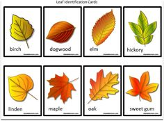 It is fun to explore and identify the types of trees in your area. This free printable leaf identification chart and cards set will help you identify them. Creative Curriculum Preschool, Fall Preschool Activities, Tree Leaf Identification, Printable Leaves, Free Printable, Tree Study, Art And Craft Videos, Leaf Cards, Charts For Kids