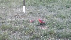 Female & male Cardinals hanging out at our bird feeders.