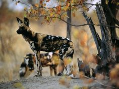 Not your average canine... African wild dogs travel in packs, have only 4 toes and have been known to share food and to assist weak or ill members. national geographic