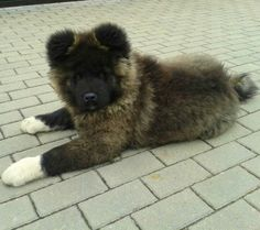 Long coated Akita