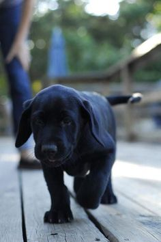 Black lab pup. I need this guy in my life.