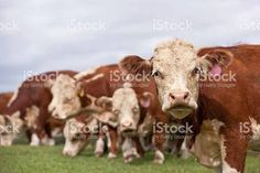 Image result for hereford cattle closeup