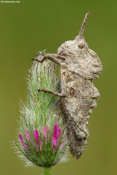 One of the coolest-looking grasshoppers: Prionosthenus galericulatus, which looks just like a miniature dinosaur!