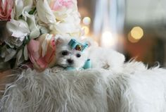 Marvelous Marvin the Pocketbook Maltese is For Sale #pocketbook #puppy #dog…