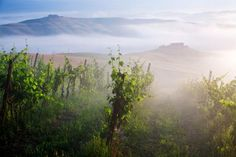 A typical Tuscan vineyard on the hills near Ponte d'Arbia, Siena, shrouded by morning fog. © Image Source/Thinkstock