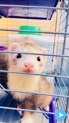Baby Ferrets, Funny Ferrets, Pet Ferret, Cute Little Animals, Cute Funny Animals, Cute Dogs, Long Cat, Lovely Creatures, Most Beautiful Animals