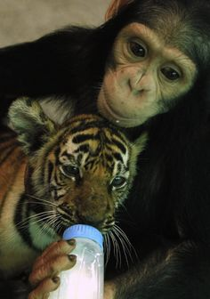 """Two-year-old chimpanzee """"Do Do"""" was seen feeding milk to """"Aorn,"""" a 60-day-old baby tiger cub, at Thailand's Samut Prakan Crocodile Farm and Zoo."""