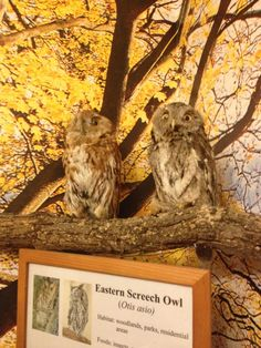 Eastern Screech Owls (taxidermied) at the Hal Tyrell Trailside Museum in River Forest, IL.