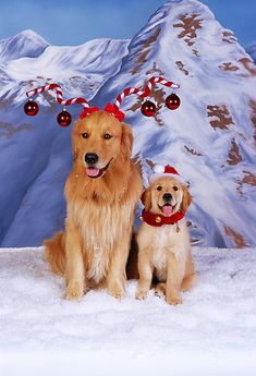 DOG 03 RK0455 04 © Kimball Stock Golden Retriever Adult And Puppy Wearing Christmas Hats On Snow Mountains Background