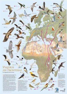 Bird's migration routes in Europe & Africa / Rutas migratorias de las aves en Europa y Africa