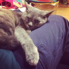 膝に乗られて身動き不可の刑 #ランです #ねこ #cat