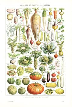 This is a vibrant color 40s vintage French dictionary page representing a botanical illustration of vegetables (légumes in French), together with their French names. Do you know how to say Pumpkin in Fench ? This antique print was extracted from a 1948 Larousse French dictionary. The back shows another vegetable print, this one in dark blue ink. This illustration would make a perfect wall hanging for a vintage kitchen home decor or your best scrapbooking or collage project. The last picture…