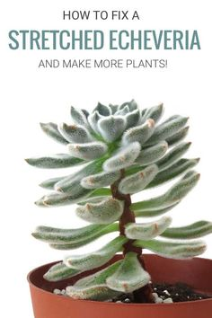 Fix Stretched Succulents Is your echeveria succulent growing tall, leggy, and all stretched out? Learn why it happens and how to fix it. And end up with more plants in the process! Succulent Care, Succulent Gardening, Planting Succulents, Planting Flowers, Succulent Plants, Tall Succulents, Propagating Succulents, House Plant Care, House Plants
