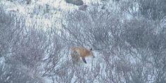 https://explore.org/videos/player/red-fox