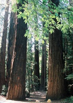 Giant redwoods northern california