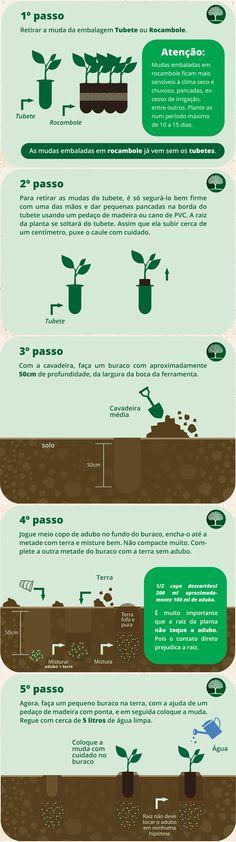 Plantio manual do mogno africano
