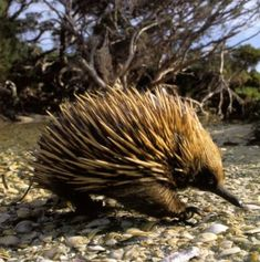 20 of the World's Weirdest Endangered Animal Species Echidna The echidna is one of two egg-laying mammals in the world (the other is the famous duck-billed platypus). Though it looks a big hedgehog-like, this spiky creature is shy and non-confrontational. Interesting Animals, Unusual Animals, Rare Animals, Animals Beautiful, Strange Animals, Wild Animals, Animal Species, Endangered Species, Weird Mammals