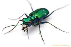 Calosoma scrutator - the fiery searcher (Carabidae). This colorful beetle is among North America's most attractive native insects. Savoy, Illinois, USA - Alex Wild Photography - Insect Photography - Insect Pictures