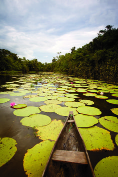 Photo Credit: Rob Howard. Giant lily pads in one of the many lagoons near the village of Rewa, in Guyana.