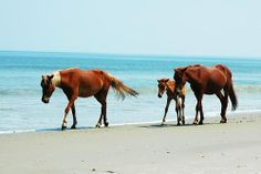 OBX Wild Horses on Beach by Nick Chapman