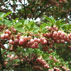 <b>Enkianthus</b> <b>campanulatus</b>:  Information, <b>Pictures</b> & Cultivation Tips Recommended by Sue